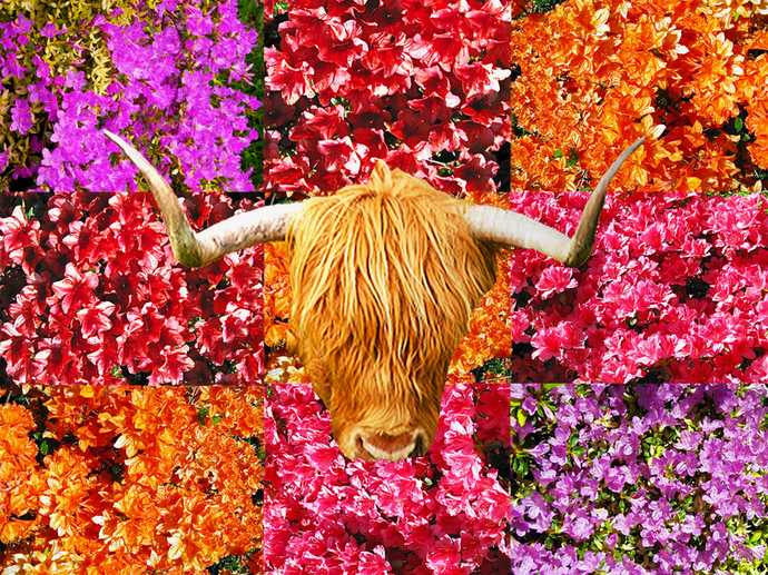 caerhays flowers and cattle